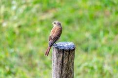 Hedge sparrow, Prunella modularis Royalty Free Stock Photography