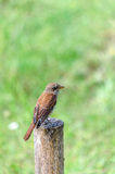 Hedge sparrow, Prunella modularis Royalty Free Stock Images