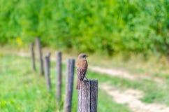 Hedge sparrow, Prunella modularis Stock Photos