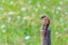 Hedge sparrow, Prunella modularis Royalty Free Stock Image