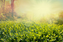 Hedge on a sunny day Royalty Free Stock Photos