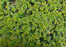 Hedge Texture. In close up detail Stock Image