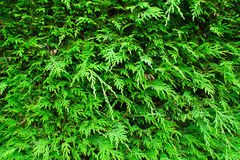 Hedge Texture. With evergreen foilage Royalty Free Stock Photos