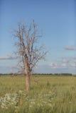 Hedge tree - Maclura pomifera Stock Photo