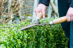Hedge Trimming. Cutting a hedge with clippers Royalty Free Stock Photography