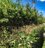 Hedge trim halfway through cutting. Hedge trimming halfway through with long growth and flowering and long stems Royalty Free Stock Photos