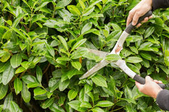 Hedge trimming with shears Royalty Free Stock Photography