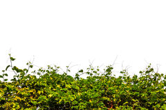 Hedge vegetable on white Stock Photography