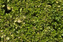Hedge Wall Stock Images