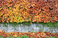 Hedge wall in Winter. A colorful hedge wall in winter Royalty Free Stock Image