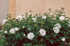 Hedge of white roses stock photography
