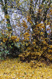 Hedge in autumn royalty free stock image