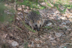 Hedgehog в пуще Стоковая Фотография