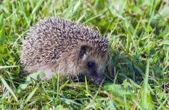 hedgehog зеленого цвета травы шиповатый Стоковое фото RF