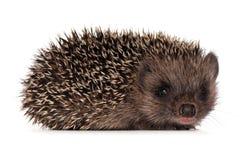 hedgehog малый Стоковые Фотографии RF