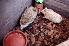 hedgehog малый Стоковые Фото