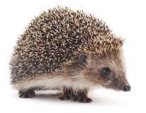 hedgehog малый Стоковая Фотография RF