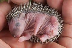hedgehog младенца Стоковое фото RF