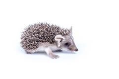 hedgehog немногая Стоковые Изображения RF