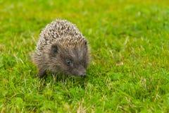hedgehog немногая Стоковое Изображение