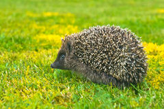 hedgehog немногая Стоковая Фотография RF