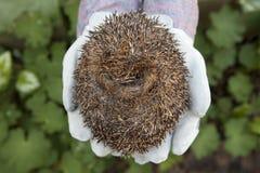 hedgehog свернутый вверх Стоковые Изображения