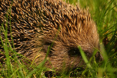 Hedgehog. A cute hedgehog in the grass Stock Photo