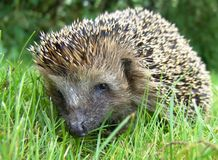 Hedgehog. Closeup of wild hedgehog Royalty Free Stock Image