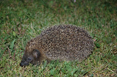 Hedgehog. Young hedgehog catched at midnight in a park Stock Photography
