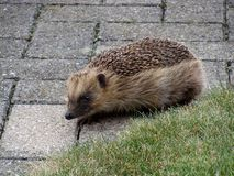 Hedgehog 1 Royalty Free Stock Image