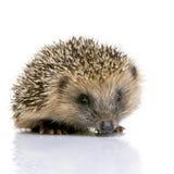 Hedgehog (1 mês) imagens de stock