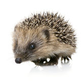 Hedgehog (1 months) Stock Images