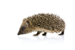 Hedgehog (1 months) Stock Photo