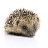 Hedgehog (1 months) Royalty Free Stock Photography