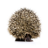 Hedgehog (1 months) Stock Photos