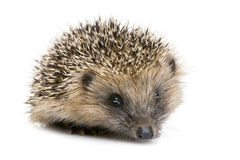 Hedgehog (1 months) Royalty Free Stock Photo