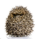 Hedgehog (1 months) Royalty Free Stock Images