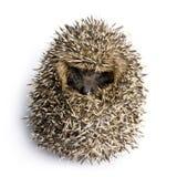 Hedgehog (1 months) royalty free stock photos