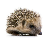 Hedgehog (1 months) Royalty Free Stock Photos