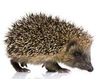 Free Hedgehog (1 Months) Stock Image - 3152581
