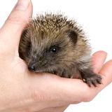 Hedgehog (1 months) Royalty Free Stock Image