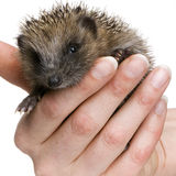 Hedgehog (1 months) Stock Image