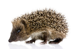 Hedgehog (1 mounths) Royalty Free Stock Photos