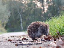 hedgehog Lizenzfreie Stockfotos