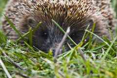 Hedgehog. Yong hedgehog on green lawn Royalty Free Stock Photography