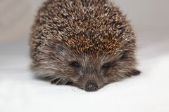 Hedgehog. The hedgehog in studio looks at the photographer Royalty Free Stock Photo