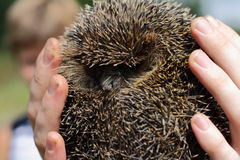 Hedgehog. In the human hands Royalty Free Stock Photography