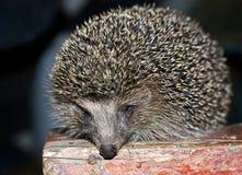 The hedgehog Stock Image