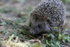 hedgehog Imagens de Stock Royalty Free