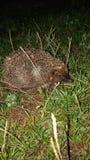 hedgehog foto de stock royalty free